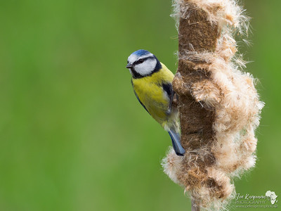 Blue Tit in the Bulrush reeds