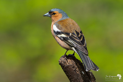 Chaffinch in Evening Light