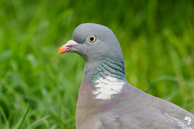 Common Wood Pigeon Portrait