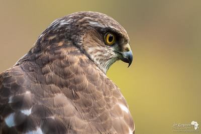 Sparrowhawk Portrait