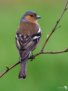Male Chaffinch over the shoulder look