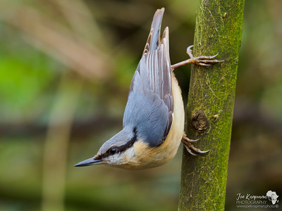 Acrobatic pose of a Nuthatch