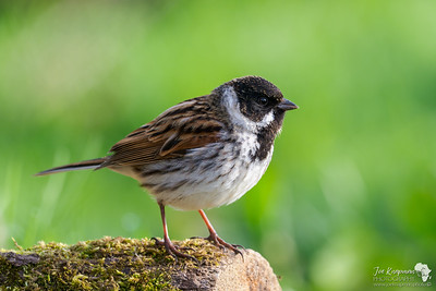 Reed Bunting close up