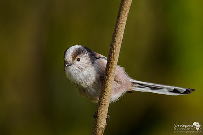 Morning light on a Long-tailed Tit