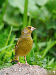 Greenfinch on a Rock