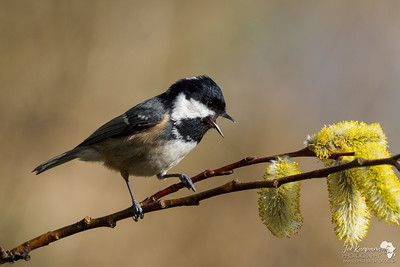 Singing Coal Tit