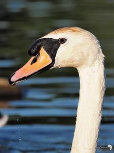 Swan 2