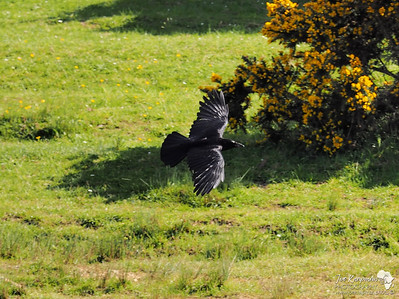 Crow in Flight
