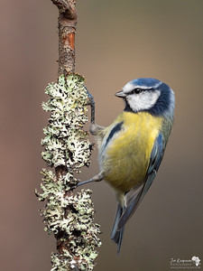 Perfectly posed Blue Tit