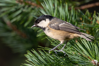 Coal Tit in the pine trees