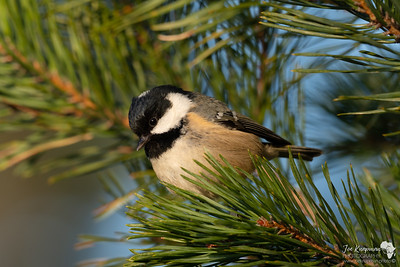 Coal Tit in A Pine Tree