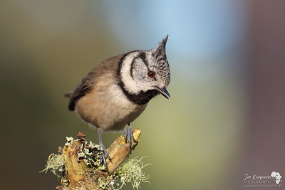 Crested Tit in Winters Light