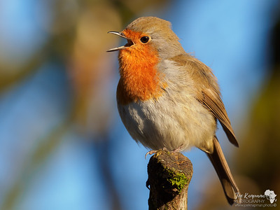 Morning Song from a Robin