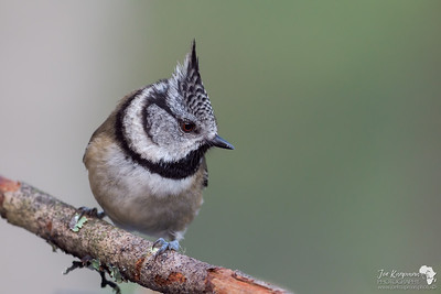 Crested Tit Close up