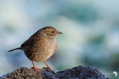 Winter light with a Dunnock