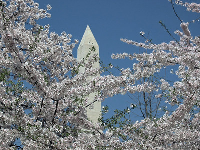 Washington Monument accentuated in cherry blossoms