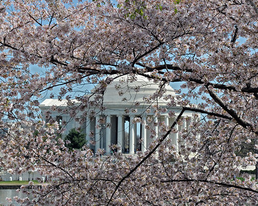Jefferson Memorial framed in cherry blossoms