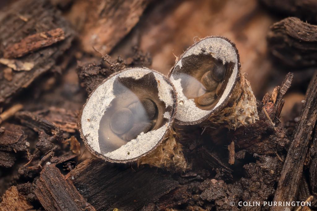 Dung-loving bird's nest fungi