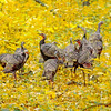 Turkey Gold (autumn, Pigeon River area, Michigan)