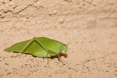 Microcentrum rhombifolium - Greater Angle-wing Katydid