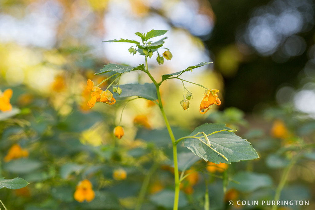 Common jewelweed