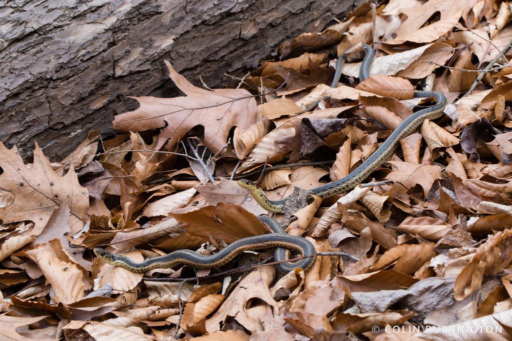 Thamnophis sirtalis sirtalis (eastern garter snake) sunning on warm winter day
