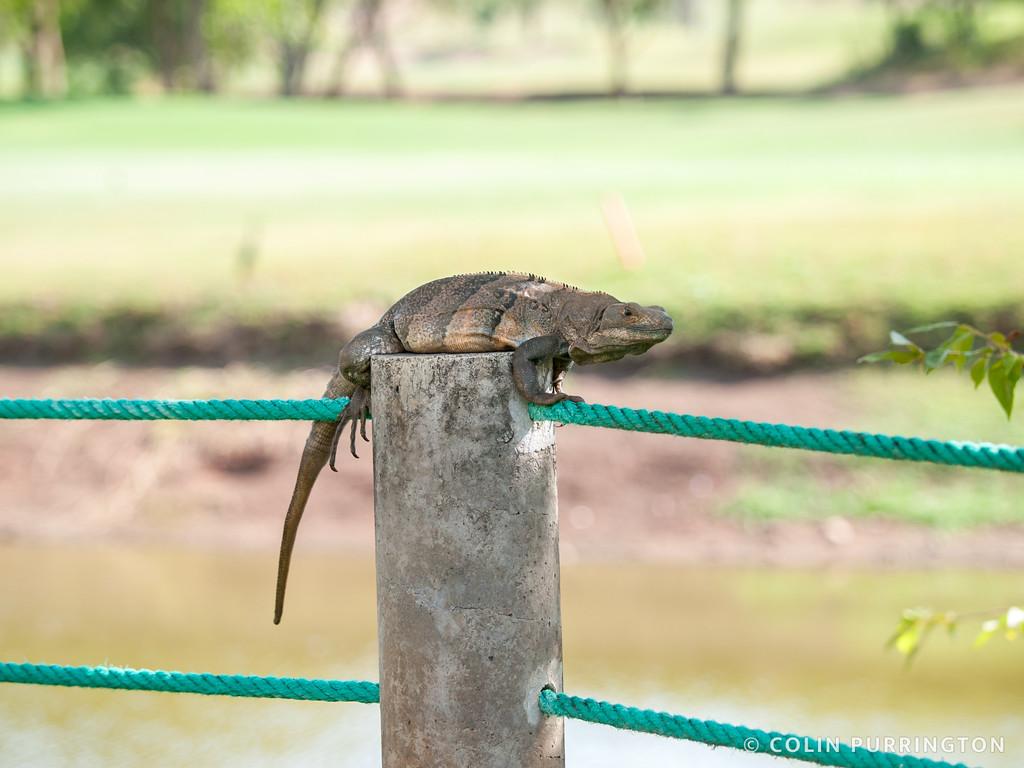 Female green iguana (Iguana iguana) on a fence post