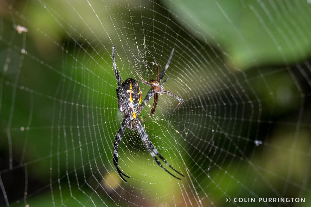 Hawaiian garden spider (Argiope appensa) courtship