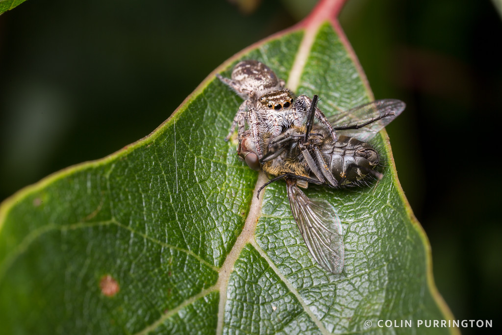 Small jumping spider with large fly