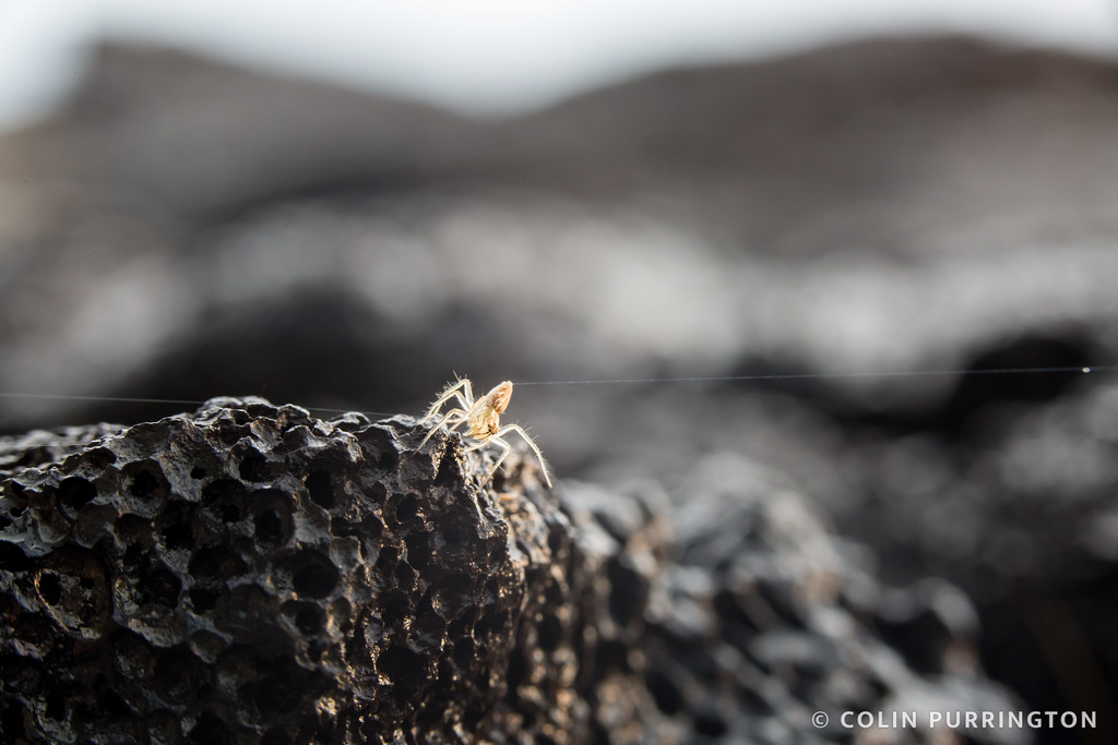 Oxyopes salticus (striped lynx) on lava