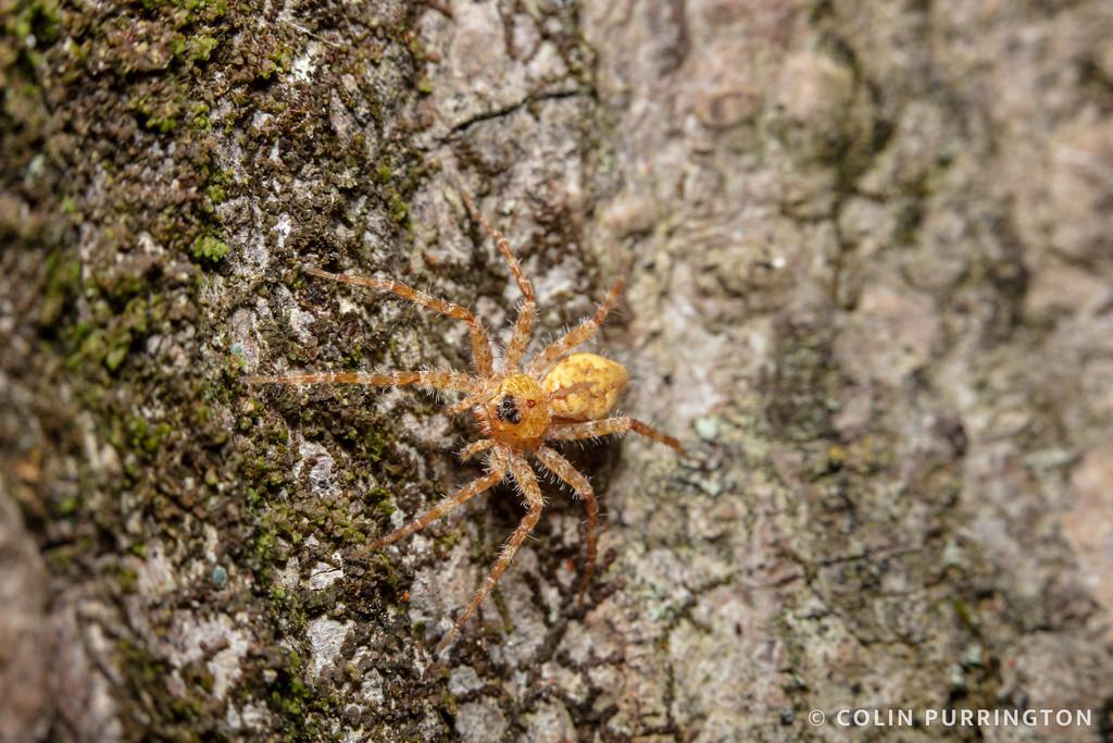 Banded fishing spider (Dolomedes vittatus)