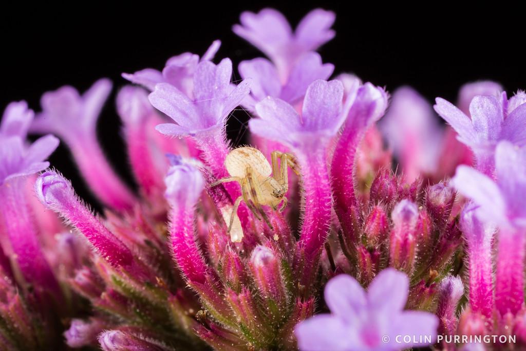 Crab spider (Mecaphesa sp.) lurking in flowers