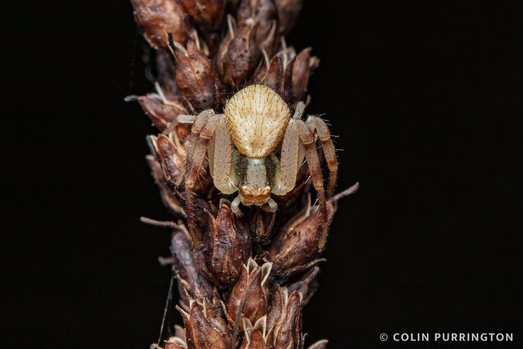 Mecaphesa asperata (northern crab spider)