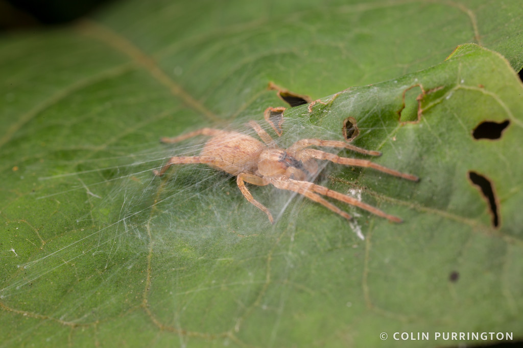 Hibana gracilis (garden ghost spider) inside silk retreat