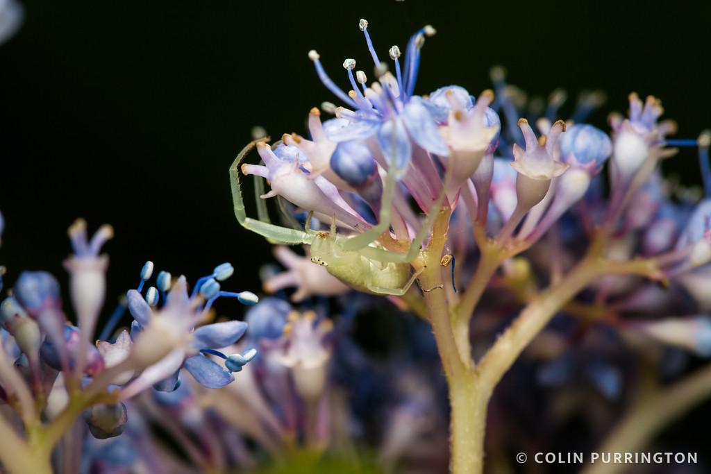 Flower crab spider (Misumena sp.) on hydrangea