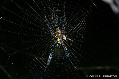 Hawaiian garden spider (Argiope appensa) courtship