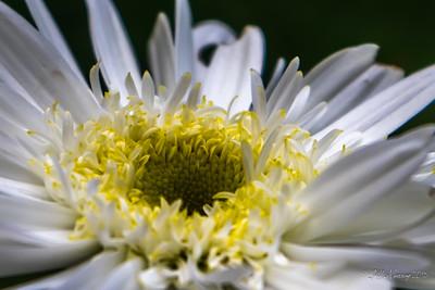 Shasta Daisy Detail