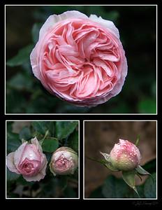 A David Austin climbing rose.