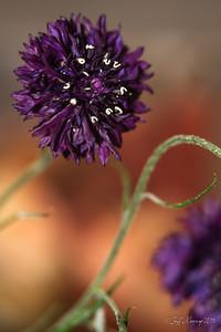 Corn Flower