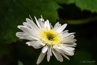 Perennial Shasta Daisy