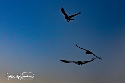 Ravens - Soaring at Sunset