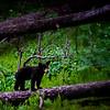 Bear Cub (Yellowstone)
