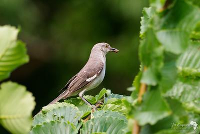 Northern Mockingbird with grub