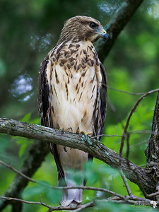 Red -tailed Hawk
