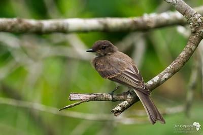 A flycatcher