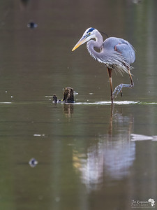 Great Blue Heron staking