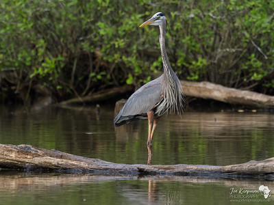 Great Blue Heron Pose