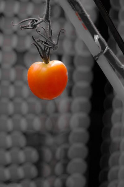 tomate du balcon