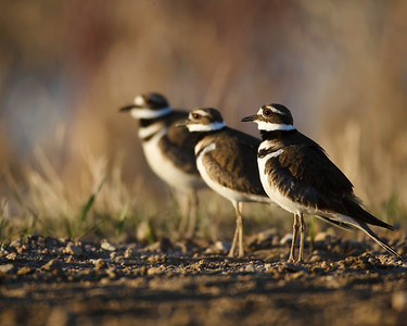 Killdeer line-up
