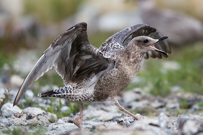 Juvenile Gull (California or Herring)